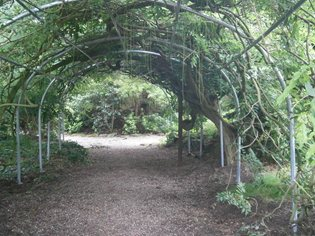 Polytunnel Frame Supporting Wisteria Archway